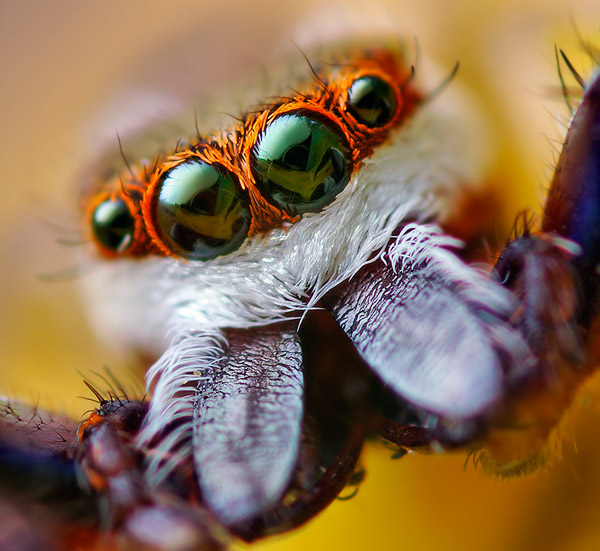 eye-macros-jumping-spider1