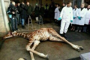 Marius-the-giraffe-who-was-killed-by-Copenhagen-Zoo-despite-offers-to-re-home-3128410