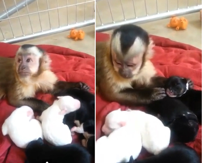 Adorable! Curious Capuchin monkey meets a litter of puppies4
